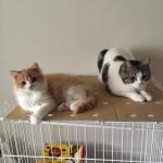 【立ち耳と折れ耳の人気の差】スコティッシュフォールドという猫について